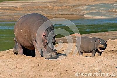 Hippopotamus, Kruger National Park, South Africa