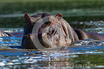 Hippopotamus Large Male Wildlife