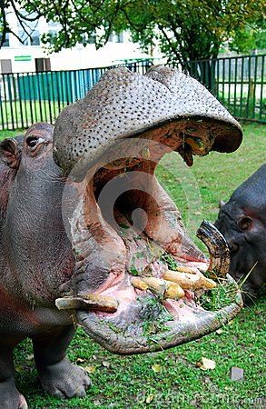 Hippopotamus with open mouth