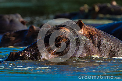 Hippopotamus Portrait Male Wildlife