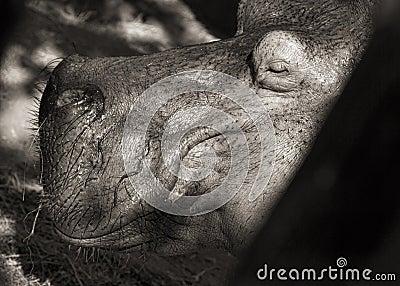 Hippopotamus portrait (monochrome)