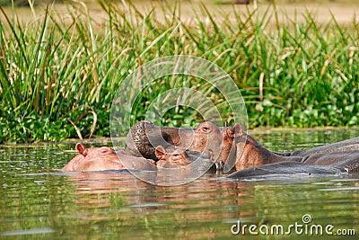 Hippopotamus school
