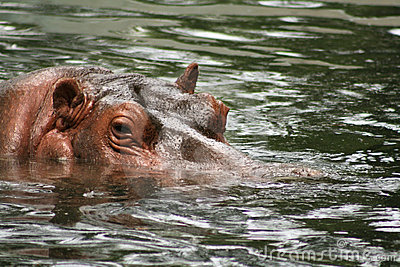 Hippopotamus Swimming