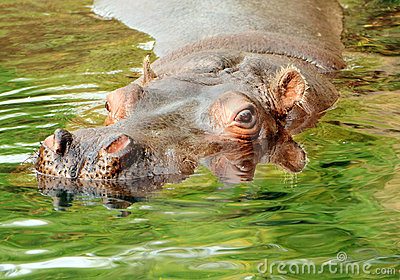 Hippopotamus swimming in water