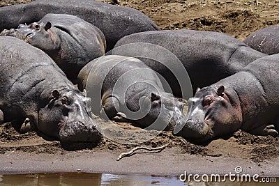 Hippopotamuses sunning, Mara River