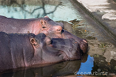 Hippos In Love Royalty Free Stock Photos - Image: 2204558