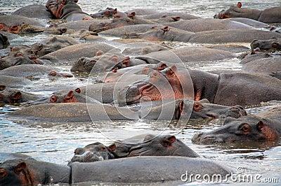 Hippos pool, serengeti, tanzania