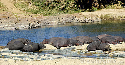 Hippos resting on riverbank