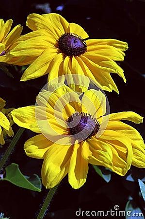 Hirta印第安黄金菊夏天