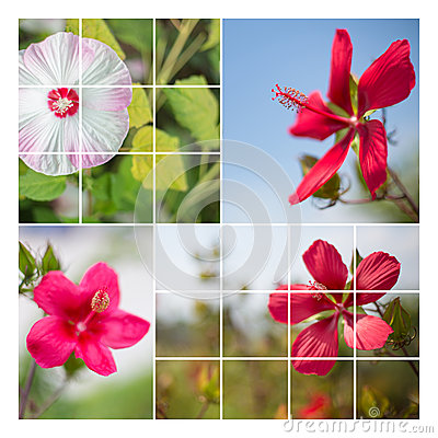 Free Hisbiscus Flower Collage Stock Photos - 44192353