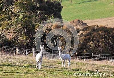 Hite alpacas. Farm near Oberon. NSW. Australia.