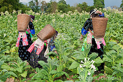 Hmong of Asia harvest tobacco