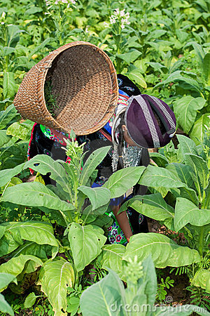 Hmong of Asia harvests tobacco