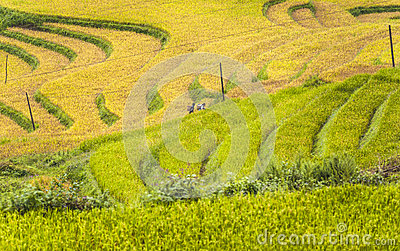 Hmong workers on rice field terraces Editorial Stock Image