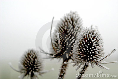 Hoar-frost upon plants