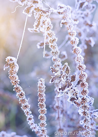 Hoar frost on the plants