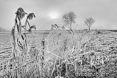 Hoar frost on reed near a fence