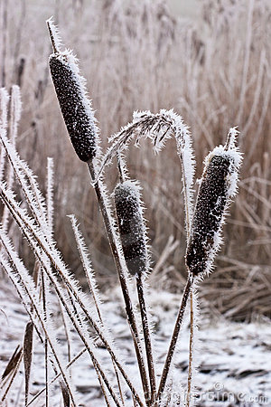 Hoar frost or soft rime on plants at a winter day