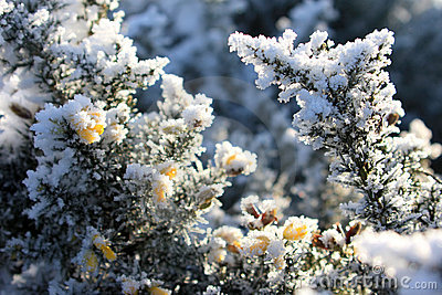 Hoarfrost has covered broom flowers