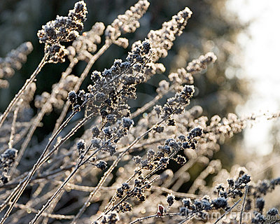 Hoarfrost on the herb