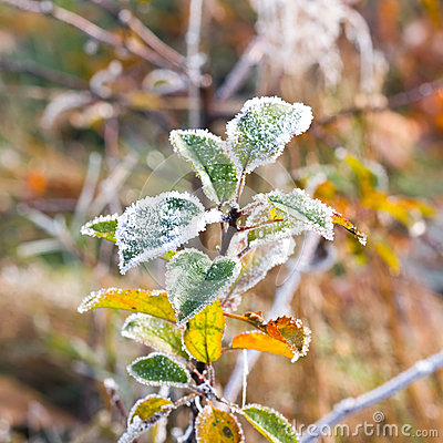 Free Hoarfrost On Leaves Stock Photo - 30842460