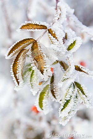 Free Hoarfrost On Leaves Royalty Free Stock Photos - 31195688