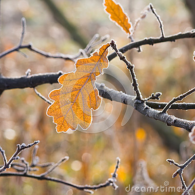 Free Hoarfrost On Leaves Royalty Free Stock Photos - 31567968