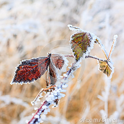 Free Hoarfrost On Leaves Royalty Free Stock Photo - 36442025