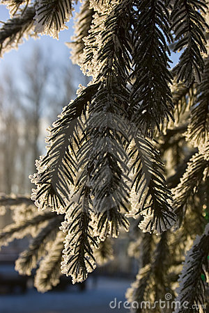 Free Hoarfrost On Pine Branches Stock Images - 1656224