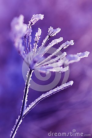 Free Hoarfrost On The Plant Close Up. Stock Images - 108928744