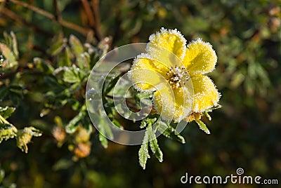 Hoarfrost Shrubby Cinquefoil flower