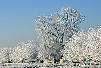 Hoarfrost in winter trees