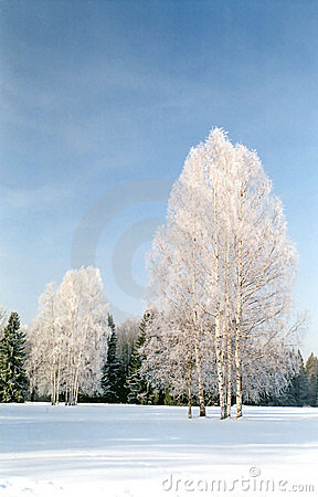 Hoarfrosted birches on snow field