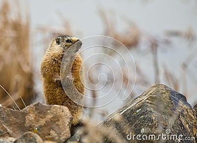 Hoary Marmot #1