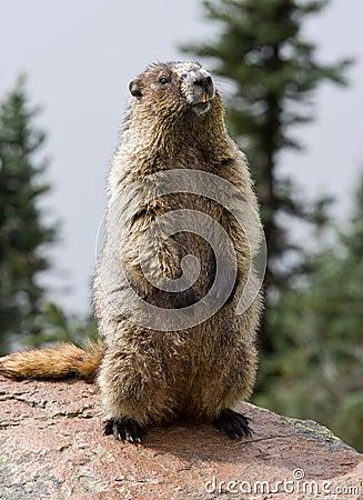 Free Hoary Marmot Royalty Free Stock Photo - 15779455