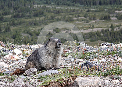 Hoary marmot on high alpine rock field