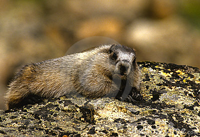 Hoary Marmot Resting