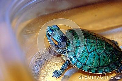 Hobby-Haustier-Schildkröte