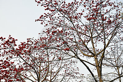 Hochrote Kapokblumen des Frühlinges