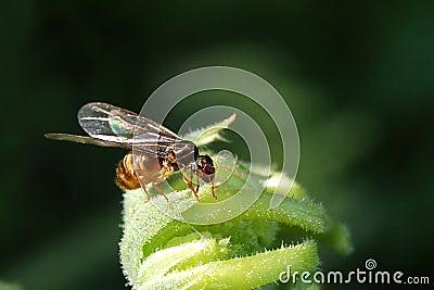 Hochzeitsflug der Ameisen