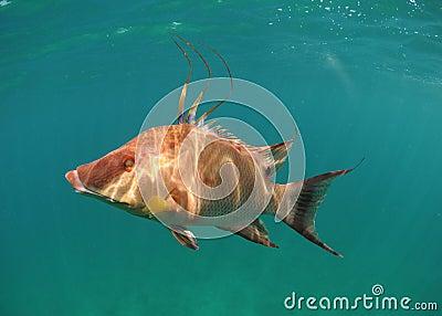 Hogfish swimming underwater