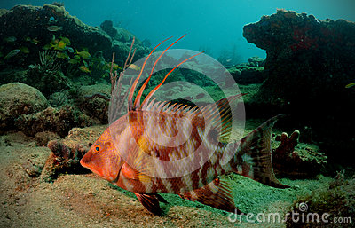 Hogfish or underwater lachnolaimus maximus