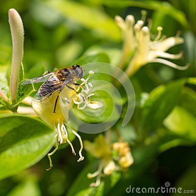 Hogging The Honeysuckle