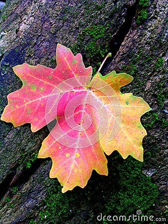 Hoja de arce roja del otoño en tocón de árbol cubierto de musgo