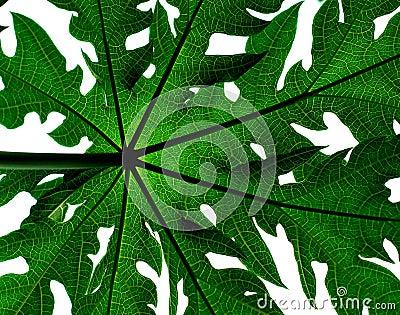 Hoja del árbol de papaya