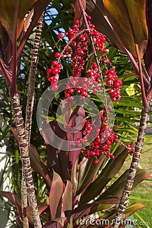 Hoja roja hawaiana del Ti y bayas rojas