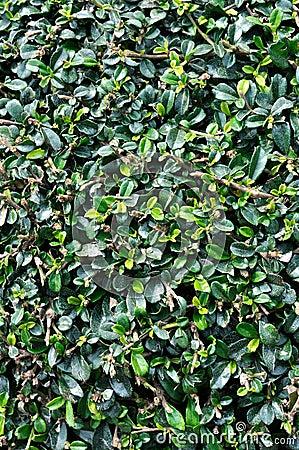 Hojas de la planta de la magnolia como fondo