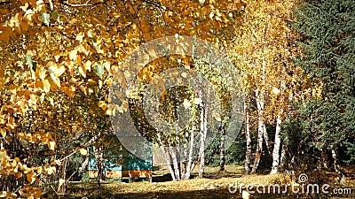 Hojas de otoño que caen de árbol almacen de metraje de vídeo