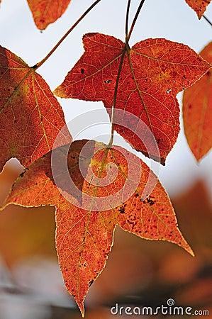 Hojas de otoño rojas brillantes