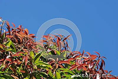 Hojas del árbol de mango